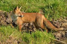 Fox, European Red.jpg