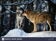 Male and Female Northwestern Wolves