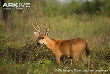 Marsh-deer-stag.jpg