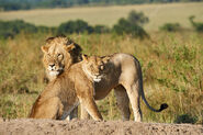 Masai Lion and Lioness