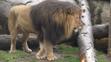 Oregon Zoo Male Lion