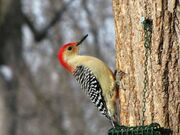Red-bellied-Woodpecker-at-Tree-3-1024x768.jpg
