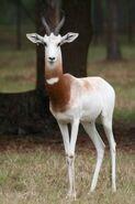 Addra-gazelle-200x300