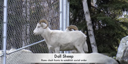 Alaska Zoo Dall's Sheep