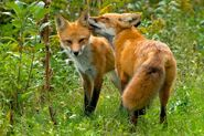 American Red Fox and Vixen