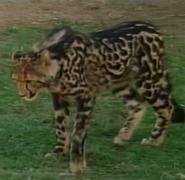 Canberra Zoo King Cheetah
