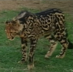 Canberra Zoo King Cheetah.png