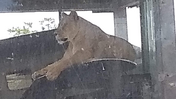 Columbus Zoo Lioness