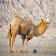 Domestic bactrian camel (Camelus bactrianus)