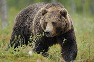 Eurasian Brown Bear (V2)