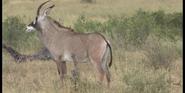 KNP Royal Antelope