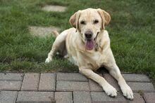 Labrador-retriever-physical-traits.jpg
