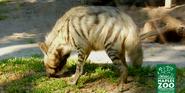Naples Zoo Hyena
