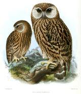 Owl, laughing