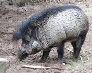 Pig, Visayan Warty