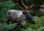 Rangier tarandus caribou