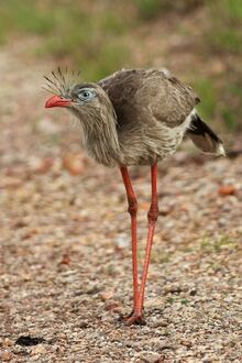 Red-legged-seriema5.jpg