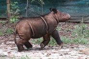 Sumatran Rhinoceros Calf