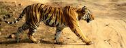 Tigress (V2)