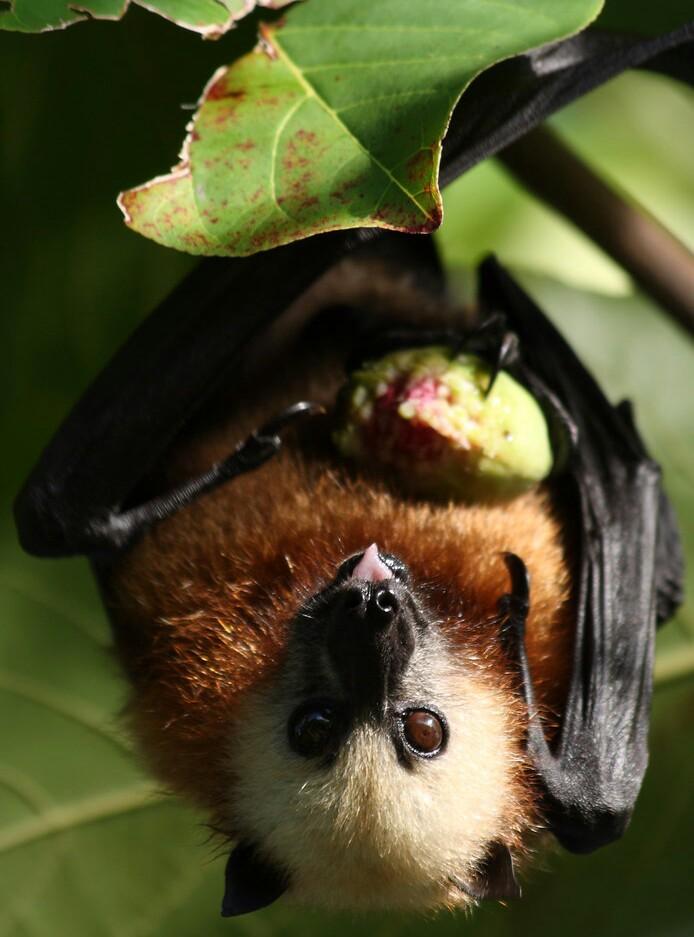 Aldabra Flying Fox