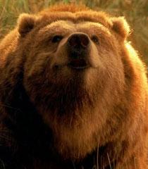 Ava the Bear