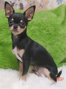 ChihuahuaViansBigMacAttackMac33.JPG