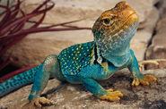 Collared-lizard3