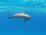 Dolphin, Spinner