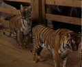 Evan Almighty Tigers