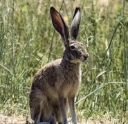 Lepus californicus (V2)