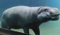 Louisville Zoo Hippo
