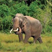 Sri Lankan Elephant Male.jpg