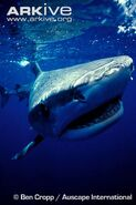 Tiger-shark-up-close