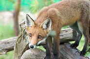 250px-Fox on a log