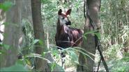 Bronyx Zoo Okapi