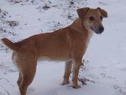 Brown-Terrier