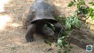 Cincinnati Zoo Galápagos Tortoise (V2)