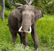Elefante Indio Macho