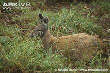 Female-Siberian-musk-deer-sitting-down.jpg
