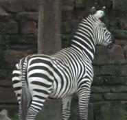 Forth Worth Zoo Zebra