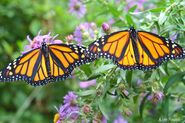 Male and Female Monarch Butterflies