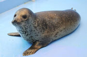Spotted Seal 1 0930.jpg