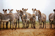 Zeal of Grevy's Zebras