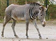 Zebra, Grévy's