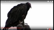 Animal Atlas Turkey Vulture