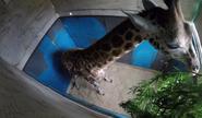 CITIRWN Giraffe