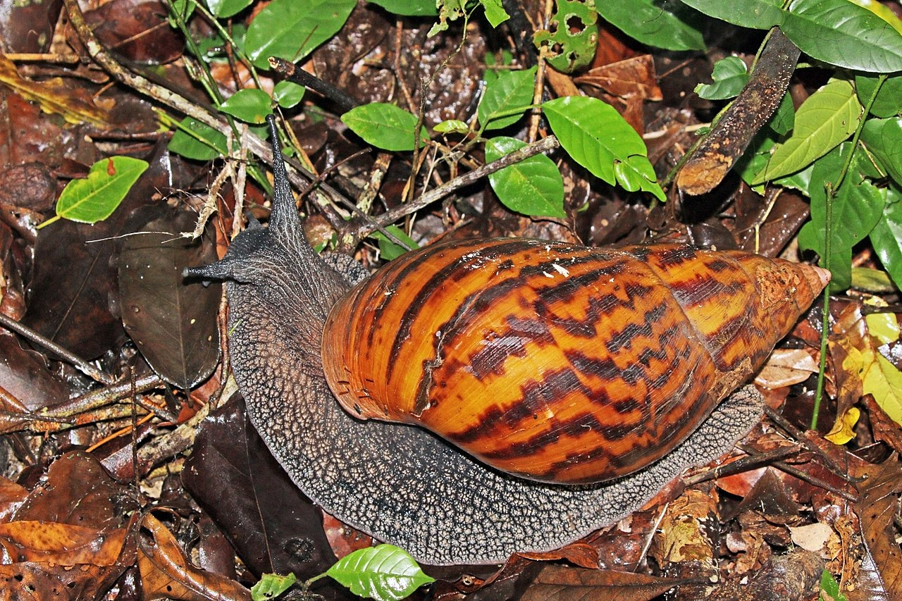 Giant Tiger Land Snail