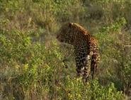 HugoSafari - Leopard02