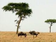HugoSafari - Wildebeest03
