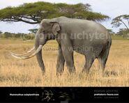 Mammuthus-subplanifrons-738x591